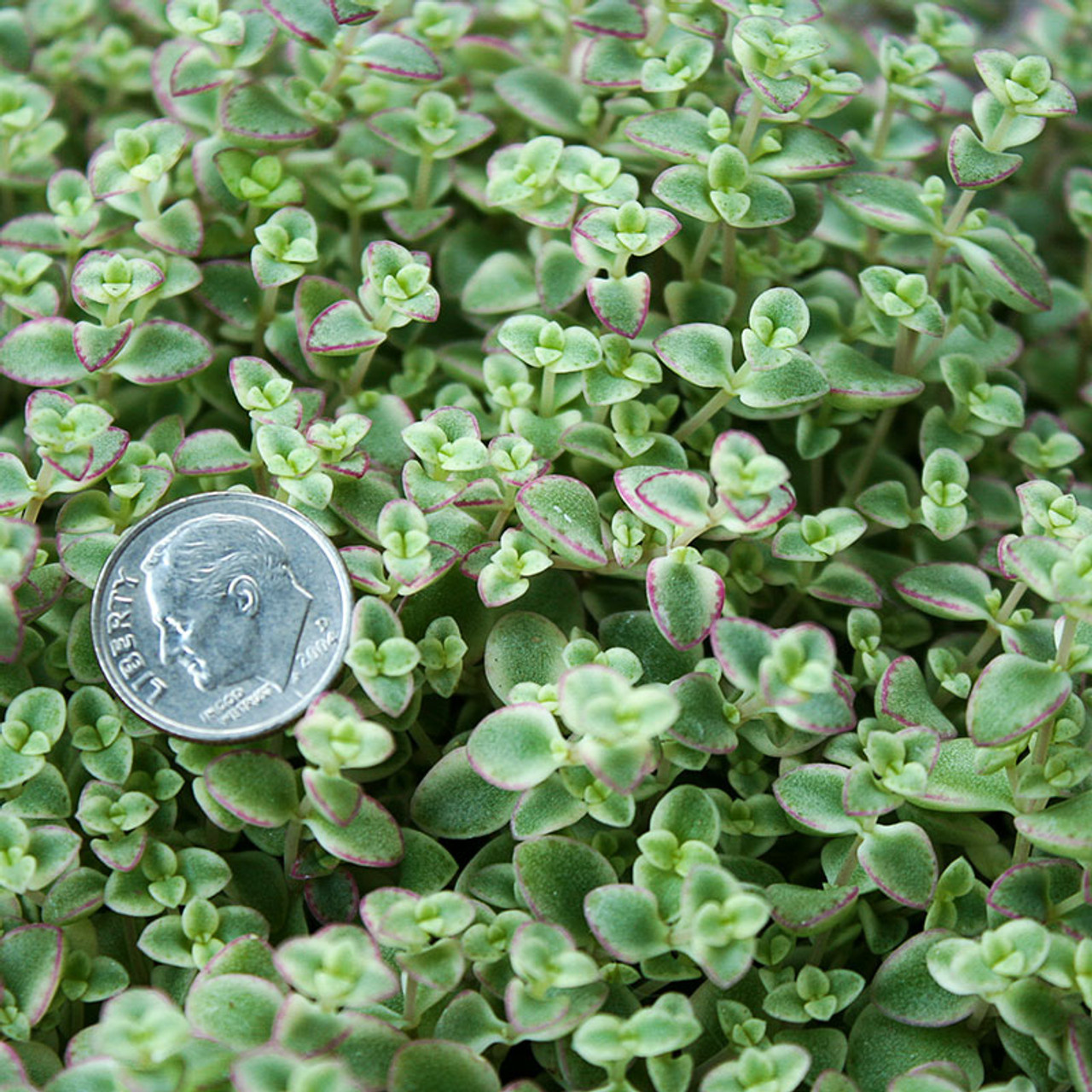 Sedum Little Missy Succulents For Sale