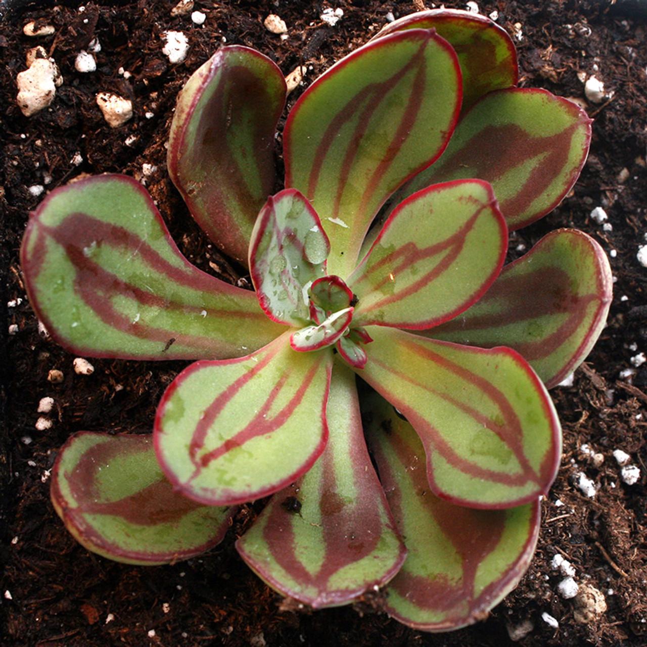 Echeveria Nodulosa Painted Succulents For Sale