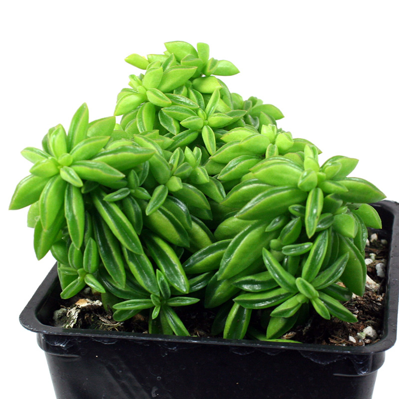 Peperomia Axillaris Succulents For Sale