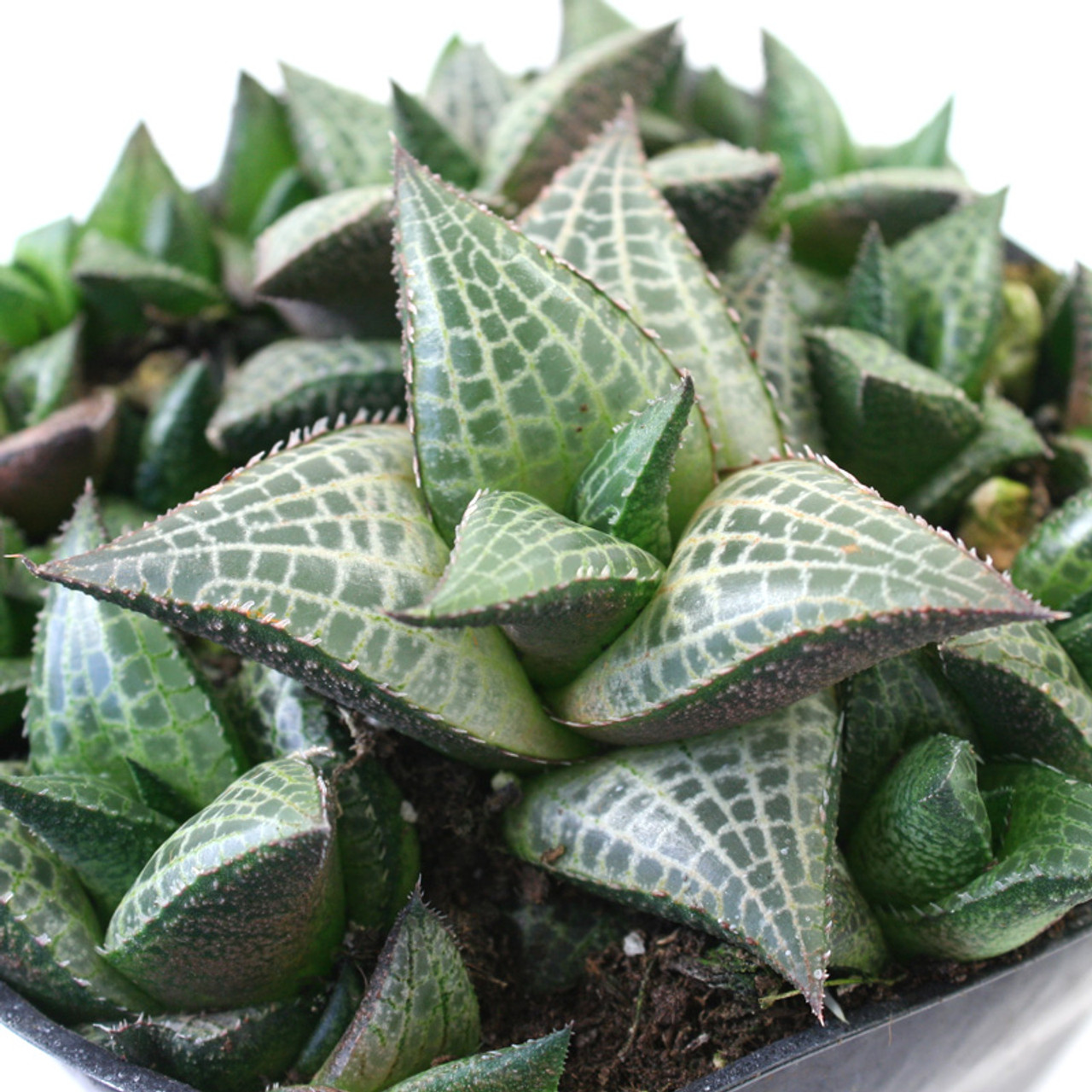 Veined Haworthia Tessellata Succulents For Sale