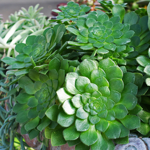 Aeonium Party Platter Succulent
