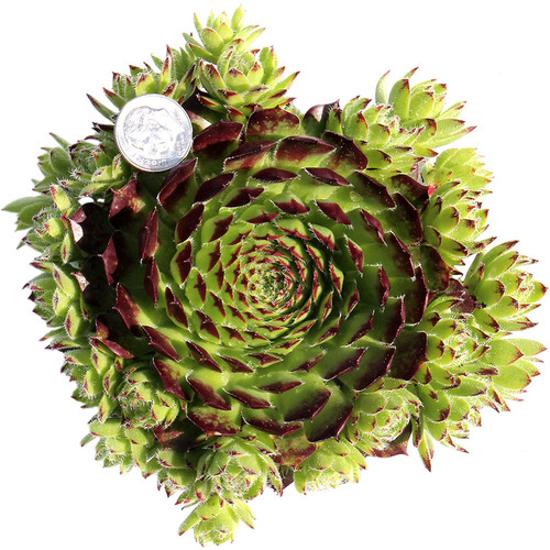 Sempervivum Helveticum in May