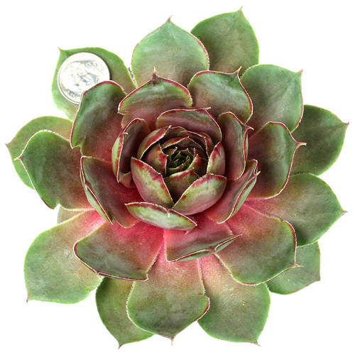 Summer Wine Hens and Chicks
