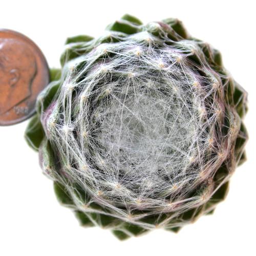 Sempervivum Tomentosum in June