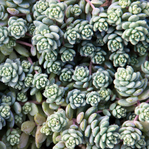 Sedum Dasyphyllum Major in March