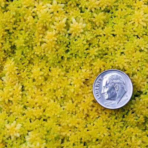 Sedum Fine Gold Leaf