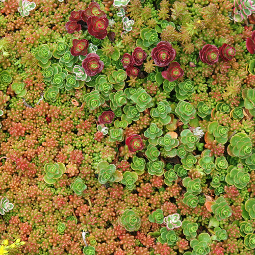 Mixed Sedum Tile