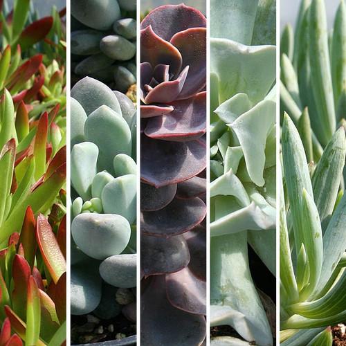 5 Succulent Collection