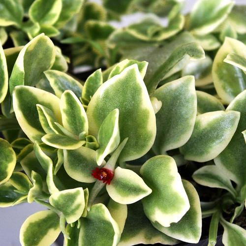 Varigated Aptenia