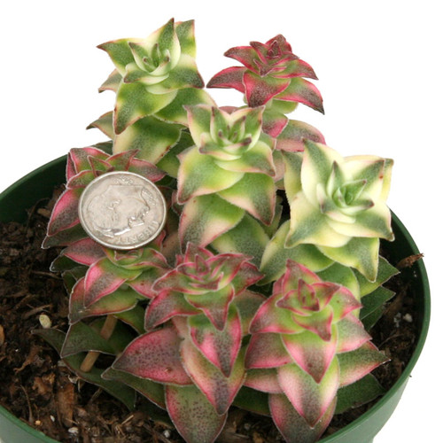 Varigated String of Buttons Crassula