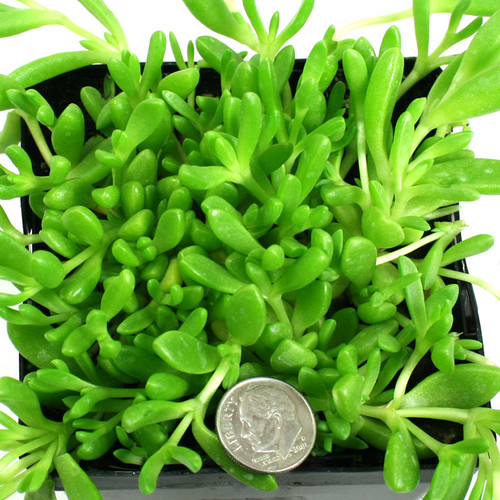 Delosperma nubigenum Yellow Ice Plant