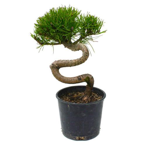 Mugo Pine Twisty