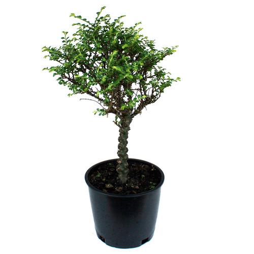 Seiju Chinese Elm