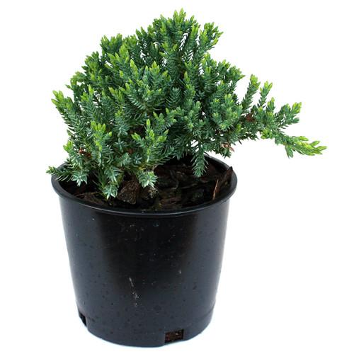 Juniper procumbens Nana