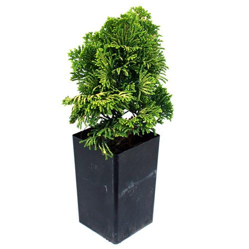 Golden Dwarf Hinoki Cypress -  Mini