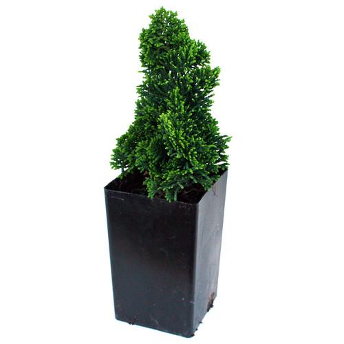 Thoweil Hinoki Cypress