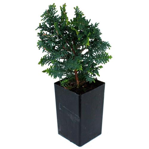 Fernleaf Hinoki Cypress