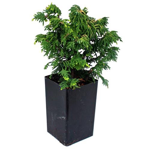 Fernspray Gold Hinoki Cypress -  Mini