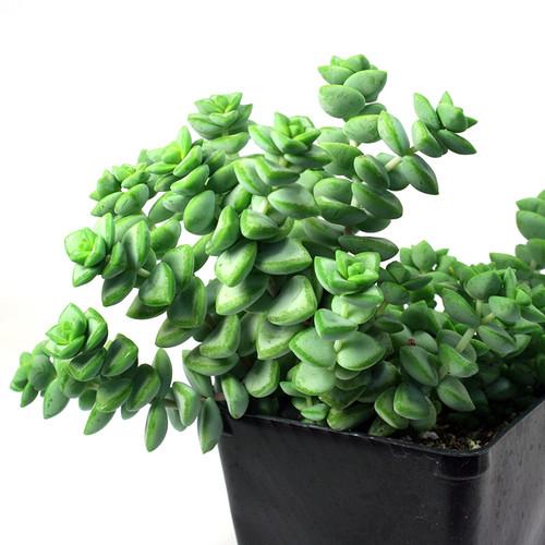 Crassula Rosary Plant Succulent