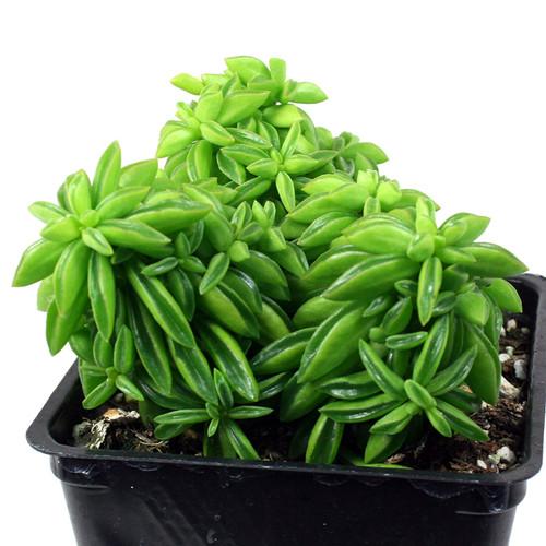 Peperomia axillaris Succulent