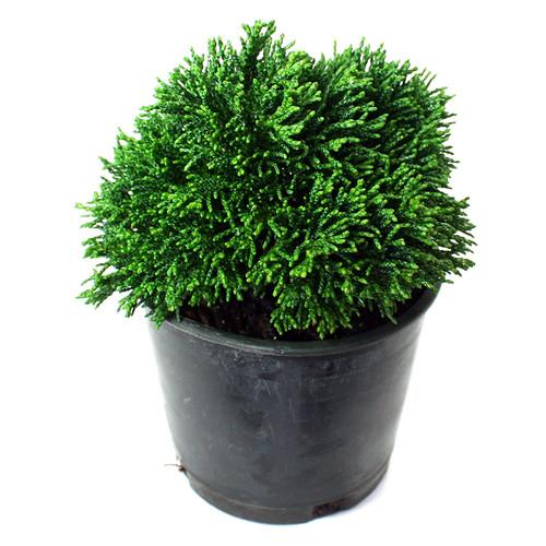 Hinoki Cypress Just Dandy