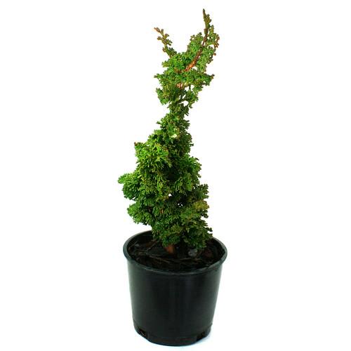 Arborvitae Primo