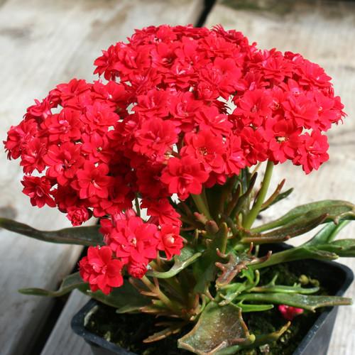 Kalanchoe Tarantula Flower