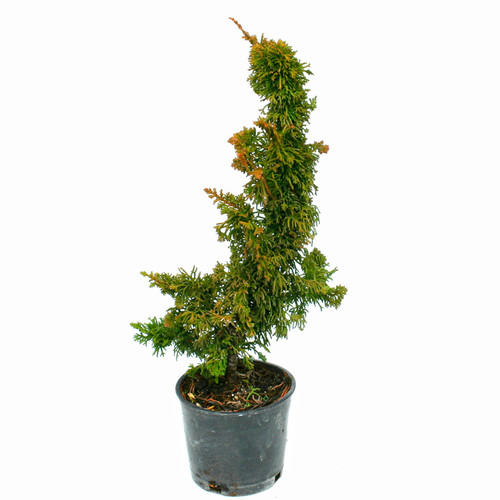 Thuja occidentalis Malonyana Holub'