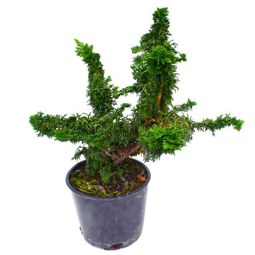 Malonyana Arborvitae