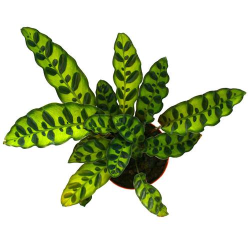 Calathea lancifolia Rattlesnake Plant for Sale