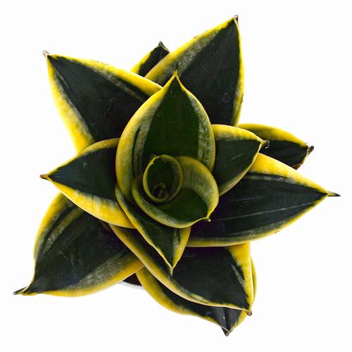 Sansevieria Black Star