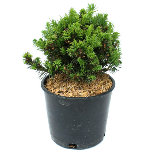 Picea abies Jessy Norway Spruce