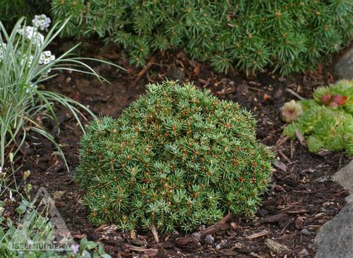 Jessy's Miniature Norway Spruce mature size