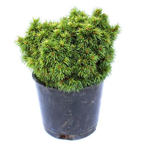Picea glauca Elf Alberta Spruce