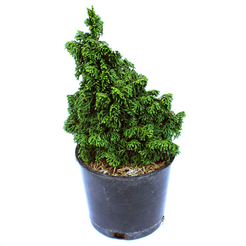 Hinoki Cypress Gemstone