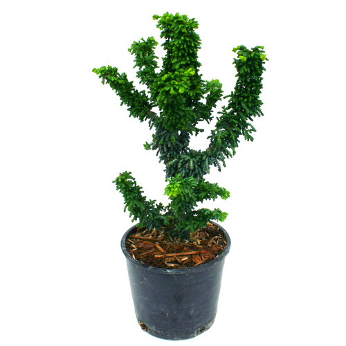 Chirimen Dwarf Hinoki Cypress