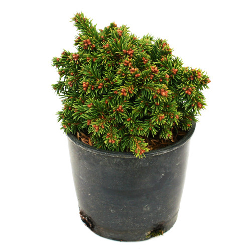 Picea abies Thumbelina Spruce