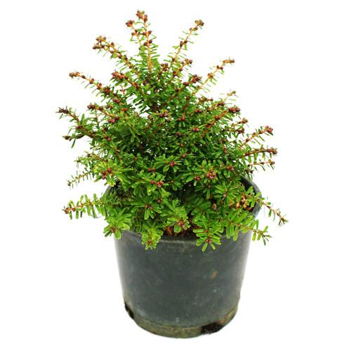 Tsuga diversifolia Loowit Dwarf Conifer