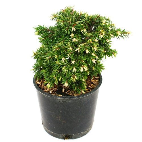 Tsuga canadensis Betty Rose Dwarf Conifer