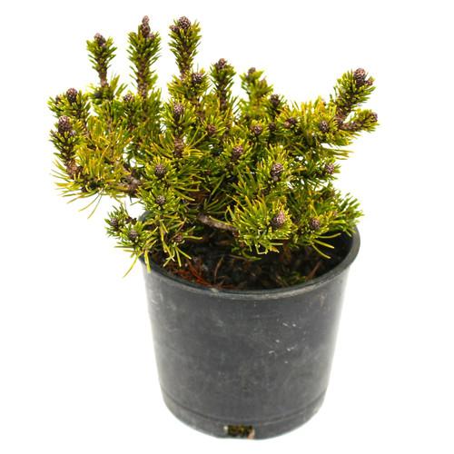 Pinus mugo Short Needle Dwarf Conifer