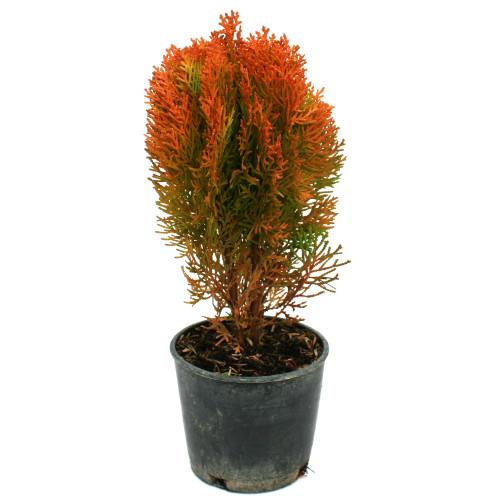 Thuja Morgan Oriental Arborvitae