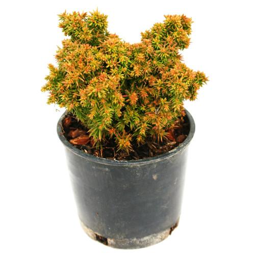 Tenzan Japanese Cedar