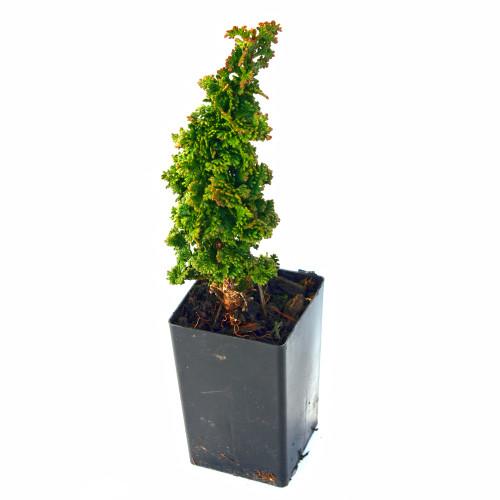 Primo Arborvitae Miniature