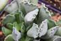 Adromischus Succulent Plant