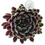 Sempervivum Crimson Velvet in June