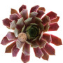 Sempervivum Faramir in July