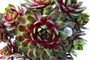 Gay Jester Sempervivum Succulent clump