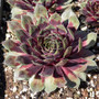 Sempervivum Heart of Darkness in March