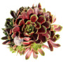 Sempervivum Mars in May