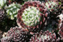 Piliferum Hens and Chicks March color